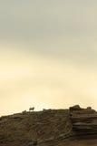 Pecore su una scogliera fotografia stock libera da diritti
