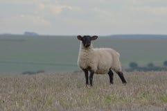 Pecore sui bassi del sud Immagini Stock