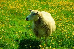 Pecore sul bello prato della montagna in Norvegia Immagini Stock