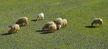Pecore sul campo Fotografia Stock Libera da Diritti