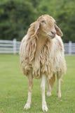 Pecore sul campo verde Fotografia Stock