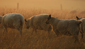 Pecore sul movimento immagine stock libera da diritti