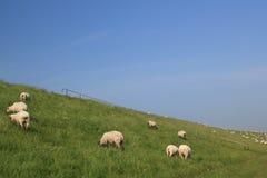 Pecore sul pascolo immagini stock libere da diritti