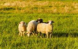 Pecore sul pascolo Fotografia Stock Libera da Diritti