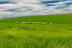 Pecore sul pascolo Fotografia Stock