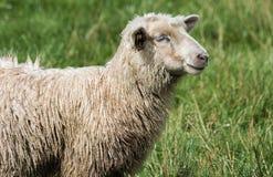 Pecore sul pascolo Fotografie Stock Libere da Diritti
