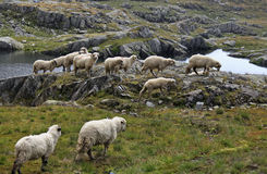 Pecore sul pascolo dell'alta montagna Fotografia Stock