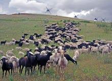 Pecore sul pascolo e sui mulini a vento Immagini Stock