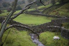Pecore sul pascolo in vallate Yorkshire Inghilterra di Yorkshire Immagine Stock Libera da Diritti