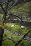 Pecore sul pascolo in vallate Yorkshire Inghilterra di Yorkshire Fotografia Stock Libera da Diritti