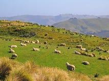 Pecore sul prato Immagine Stock Libera da Diritti