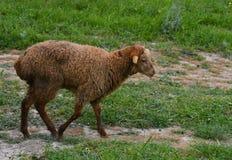 Pecore sul prato Immagini Stock