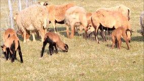 Pecore sul prato, audio, coltivante, molla, agnelli stock footage