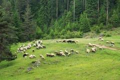 Pecore sul prato della montagna Immagini Stock Libere da Diritti