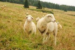 Pecore sul prato della regione montagnosa Fotografie Stock Libere da Diritti