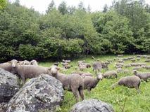 Pecore sul prato erboso vicino alla foresta nei ecrins del DES del parco nazionale nell'Alta Provenza francese Immagini Stock