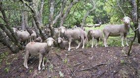 Pecore sul prato erboso vicino alla foresta nei ecrins del DES del parco nazionale nell'Alta Provenza francese Fotografie Stock