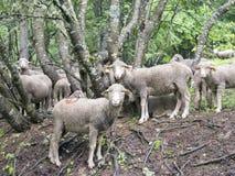 Pecore sul prato erboso vicino alla foresta nei ecrins del DES del parco nazionale nell'Alta Provenza francese Fotografia Stock Libera da Diritti