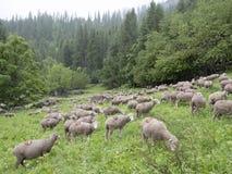 Pecore sul prato erboso vicino alla foresta nei ecrins del DES del parco nazionale nell'Alta Provenza francese Immagine Stock