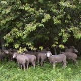 Pecore sul prato erboso vicino alla foresta nei ecrins del DES del parco nazionale nell'Alta Provenza francese Immagine Stock Libera da Diritti