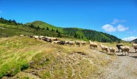 Pecore sul prato in montagne fotografia stock