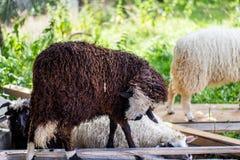 Pecore sull'allevamento di pecore Fotografia Stock