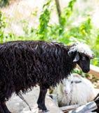 Pecore sull'allevamento di pecore Fotografia Stock Libera da Diritti