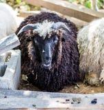 Pecore sull'allevamento di pecore Fotografie Stock