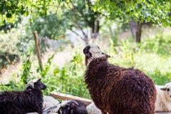 Pecore sull'allevamento di pecore Immagine Stock