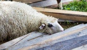 Pecore sull'allevamento di pecore Immagini Stock