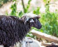 Pecore sull'allevamento di pecore Fotografie Stock Libere da Diritti