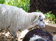 Pecore sull'allevamento di pecore Immagini Stock Libere da Diritti