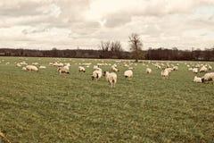 Pecore sull'azienda agricola Immagine Stock Libera da Diritti