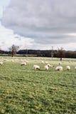 Pecore sull'azienda agricola Immagini Stock Libere da Diritti