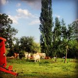 Pecore sull'azienda agricola Fotografia Stock