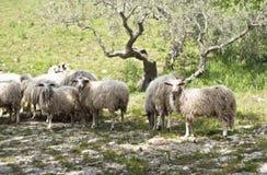 Pecore sull'azienda agricola siciliana Fotografia Stock