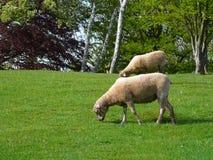Pecore sull'erba sull'erba immagine stock libera da diritti