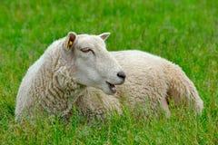 Pecore sull'erba immagine stock