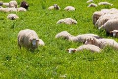 Pecore sull'erba verde Fotografia Stock Libera da Diritti