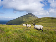 Pecore sull'isola di Achill, Irlanda Immagine Stock Libera da Diritti