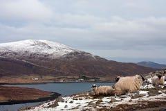 Pecore sull'isola di Harris Fotografia Stock