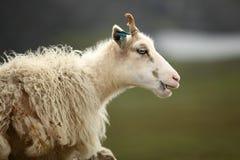 Pecore sull'isola di Runde Immagini Stock