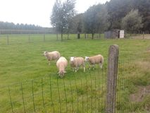 Pecore sull'orlo della foresta Immagini Stock