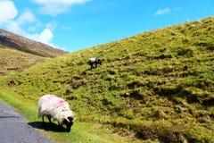 Pecore sulla collina Fotografia Stock Libera da Diritti