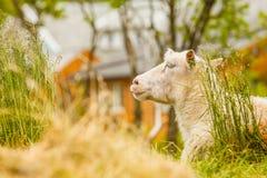 Pecore sulla collina della roccia Fotografia Stock