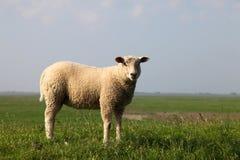 Pecore sulla diga Fotografie Stock Libere da Diritti
