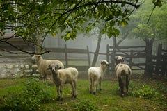 Pecore sulla mattina nebbiosa (ovis aries) Fotografia Stock Libera da Diritti
