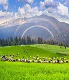 Pecore sulla montagna Pip Ivan Marmarosh Fotografie Stock