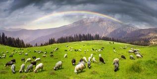 Pecore sulla montagna Pip Ivan Marmarosh Immagine Stock
