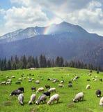 Pecore sulla montagna Pip Ivan Marmarosh Fotografie Stock Libere da Diritti